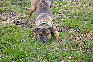 Mixed Breed Dog Play Bowing Stock Images - Image: 17373584