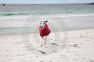 Whippet In Red Coat On Beach Stock Image - Image: 17373591