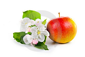 Ripe Red Apple And Apple-tree Blossoms Royalty Free Stock Photo - Image: 17374345