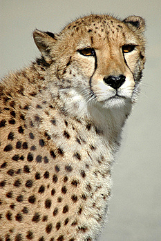 Cheetah In The Wild Royalty Free Stock Photo - Image: 17390565