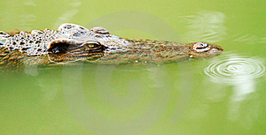 Crocodile Is Staring At You Royalty Free Stock Photos - Image: 17390738