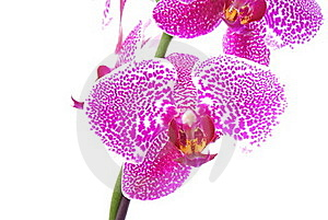 Branch Of Violet Orchid Royalty Free Stock Photo - Image: 17391075