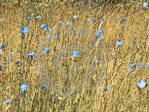 Blue Flowers Royalty Free Stock Photo - Image: 17392365