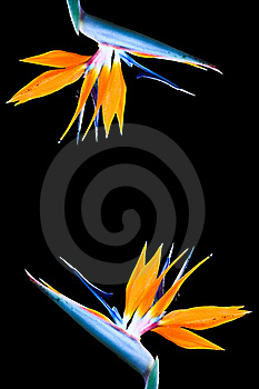 Heliconia Flower Stock Images - Image: 17398394