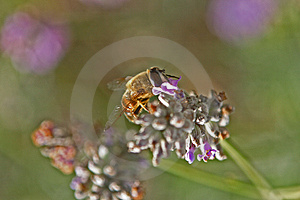 Bee On A Lavender Flower Stock Photo - Image: 1747510