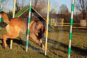 Dog In Agility Stock Image - Image: 17404431