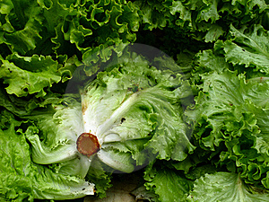Fresh Lettuce Outdoor Market Paris Stock Images - Image: 17406584