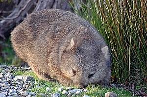 Wombat Royalty Free Stock Photo - Image: 17406715