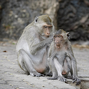 Macaque Monkeys Grooming Royalty Free Stock Photo - Image: 17406905