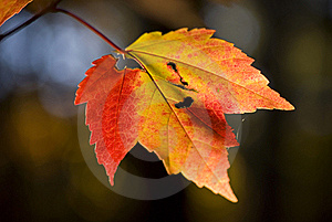 Fall Maple Leaf At Sunset Stock Photos - Image: 17407543