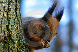Squirrel Stock Photo - Image: 17412290