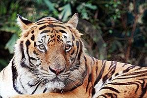 Bengal Tiger Staring At The Camera Stock Images - Image: 17414444