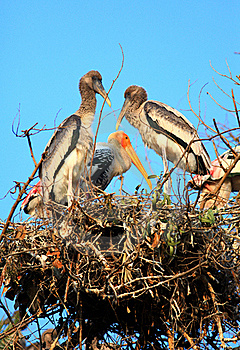 Painted Stork Family Royalty Free Stock Image - Image: 17415986