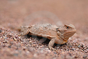 Lizards Of Arizona Stock Photography - Image: 17433732