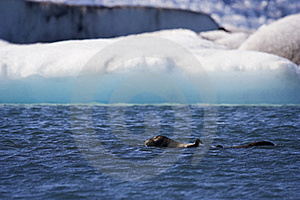 Seal Swims In Jokusarlon Glacial Lagoon, Iceland Royalty Free Stock Photography - Image: 17449817