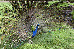 Peacock Trying To Impress Female Royalty Free Stock Images - Image: 17453809