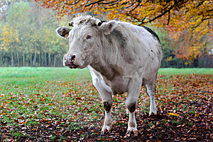 Cow With Autumn Landscape. Royalty Free Stock Photos - Image: 17454198