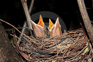 Hungry Baby Blackbirds / Turdus Merula Royalty Free Stock Image - Image: 17457596