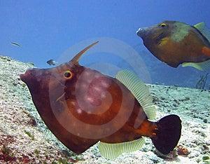 Whitespotted Filefish Stock Images - Image: 17459504