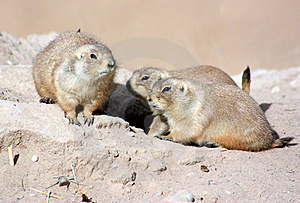 Black-tailed Prairie Dog Royalty Free Stock Photography - Image: 17460317