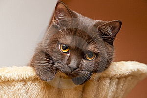 British Cat Looks Royalty Free Stock Photography - Image: 17460937