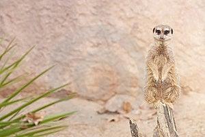 Suricate Or Mongoose Or Meerkat Stock Image - Image: 17463701