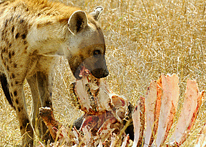 Spotted Hyaena Stock Photos - Image: 17464633