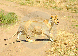 Lion Stock Images - Image: 17464874