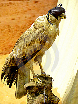 Falconry Falcon With Blind Fold Royalty Free Stock Image - Image: 17472136