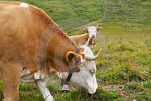 Cows Stock Image - Image: 17480961