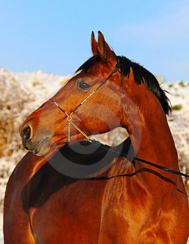 Portrait Of Bay Horse In Winter Royalty Free Stock Photography - Image: 17489217