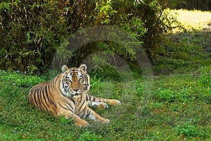 Siberian Tiger Royalty Free Stock Photography - Image: 17491027
