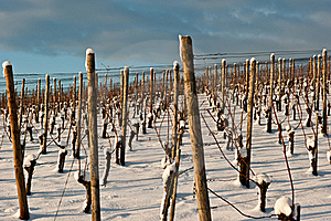 Vineyard At Winter Royalty Free Stock Image - Image: 17496486