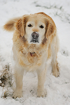 Golden Retriever In The Snow Royalty Free Stock Photos - Image: 17510558