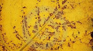 Poplar Leaf Stock Image - Image: 17517311