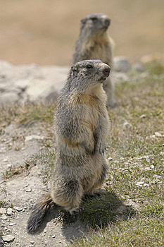 Two Marmots Stock Photo - Image: 17517500