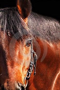 Bay Horse Isolated On Black Stock Photo - Image: 17533280