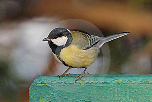 Great Tit Royalty Free Stock Images - Image: 17535989
