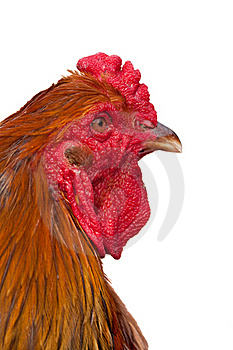 Orange Rooster Head Royalty Free Stock Image - Image: 17538776