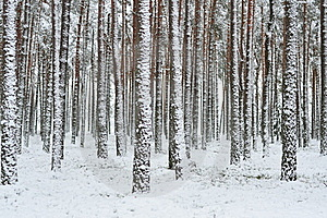 Forest In Winter Royalty Free Stock Image - Image: 17543816