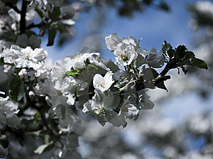 Spring Blossom Royalty Free Stock Photography - Image: 17558867