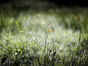 Buttercup Early In The Morning Stock Images - Image: 17558874