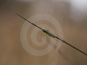 Grasshopper Hiding Behind Blades Of Grass Stock Images - Image: 17558934