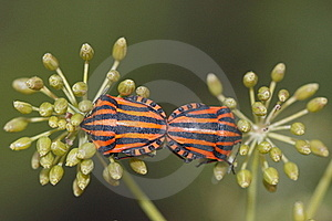 Shield Bugs Stock Photography - Image: 17567792