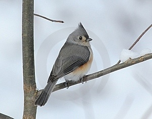 Tufted Titmouse On Snowy Branch Stock Photography - Image: 17572312