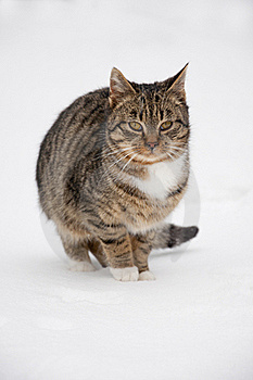 Cat At Snow Royalty Free Stock Photo - Image: 17576715