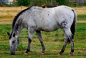 Dappel Grey Horse Stock Photography - Image: 17582042