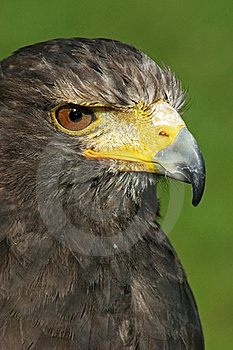 Eagle Staring At Prey Stock Images - Image: 17588334