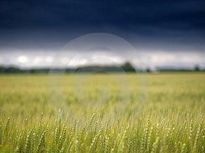 Cornfield Before It Starts Raining Royalty Free Stock Photography - Image: 17588917
