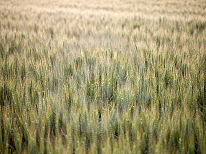 Green Wheat Field Stock Image - Image: 17588921